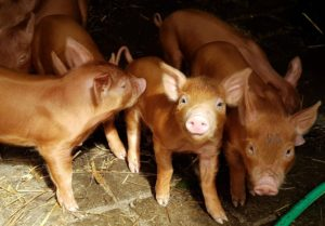 Tamworth weaners for sale